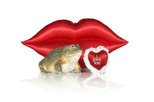 FRG 01 RK0078 02 © Kimball Stock African Bullfrog Sitting By Red Lips And Heart On White Seamless