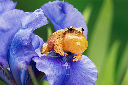 FRG 01 TK0048 01 © Kimball Stock Spring Peeper Sitting On Blue Iris Croaking