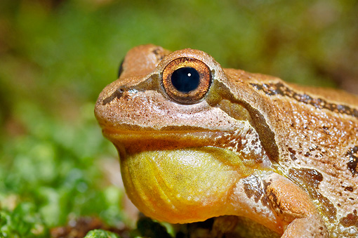 FRG 01 TK0050 01 © Kimball Stock Head Shot Of Pacific Tree Frog Croaking