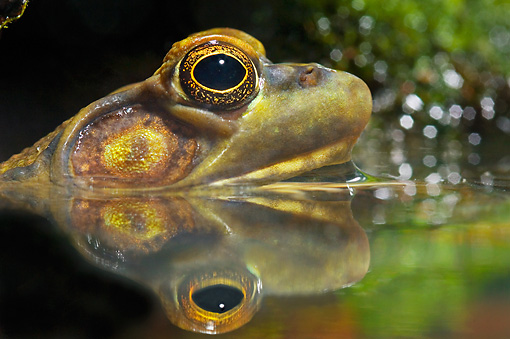 FRG 01 TK0051 01 © Kimball Stock Head Shot Of Northern Green Frog In Water