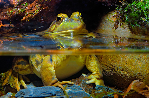 FRG 01 TK0052 01 © Kimball Stock Northern Green Frog Sitting In Shallow Water