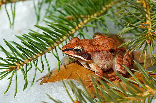 FRG 01 TK0054 01 © Kimball Stock Wood Frog Sitting On Leaf Under Pine Tree On Snow