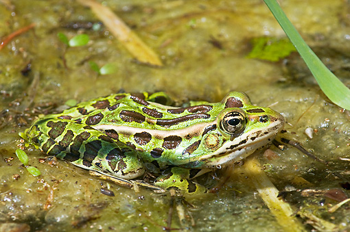 FRG 01 TK0058 01 © Kimball Stock Northern Leopard Frog Sitting In Pond