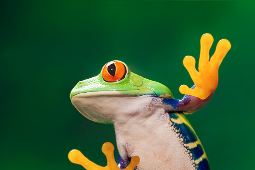 FRG 01 TK0059 01 © Kimball Stock Close-Up Of Red-Eyed Tree Frog Sitting On Glass