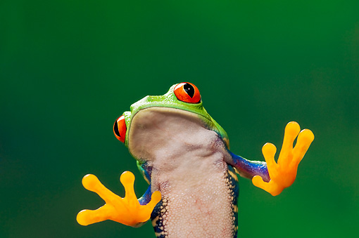 FRG 01 TK0060 01 © Kimball Stock Close-Up Of Red-Eyed Tree Frog Sitting On Glass