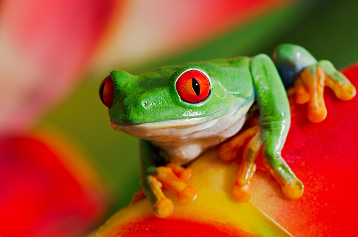 FRG 01 TK0063 01 © Kimball Stock Red-Eyed Tree Frog Sitting On Tropical Flower