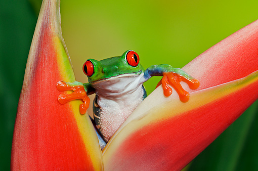 FRG 01 TK0065 01 © Kimball Stock Red-Eyed Tree Frog Climbing On Tropical Flower