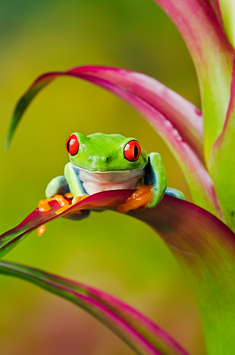 FRG 01 TK0066 01 © Kimball Stock Red-Eyed Tree Frog Sitting On Tropical Plant