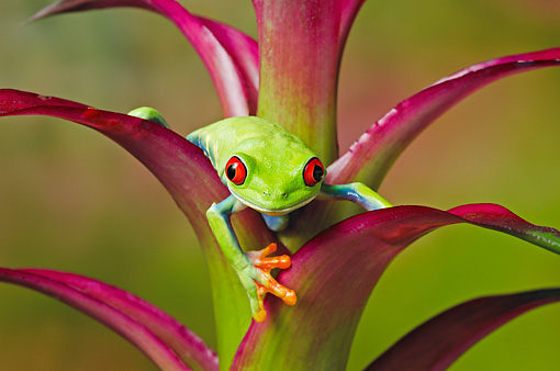 FRG 01 TK0067 01 © Kimball Stock Red-Eyed Tree Frog Climbing On Tropical Flower