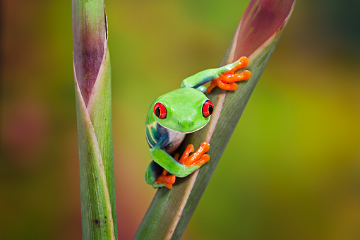 FRG 01 TK0068 01 © Kimball Stock Red-Eyed Tree Frog Climbing On Tropical Flower
