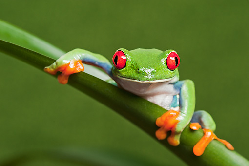 FRG 01 TK0069 01 © Kimball Stock Red-Eyed Tree Frog Clinging To Stem