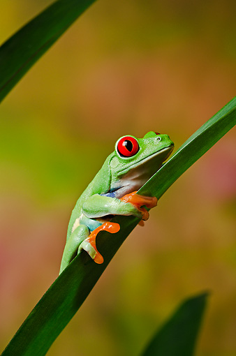 FRG 01 TK0070 01 © Kimball Stock Red-Eyed Tree Frog Climbing On Tropical Plant