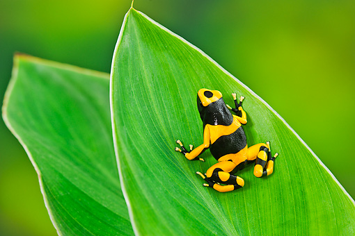 FRG 01 TK0071 01 © Kimball Stock Bumblebee Poison Dart Frog Sitting On Leaf Guyana, South America