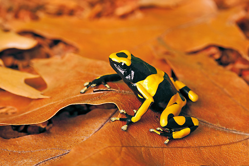 FRG 01 TK0074 01 © Kimball Stock Bumblebee Poison Dart Frog Sitting On Leaves Guyana, South America