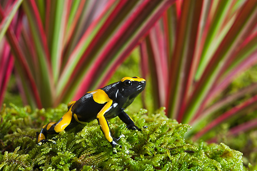 FRG 01 TK0075 01 © Kimball Stock Bumblebee Poison Dart Frog Sitting On Moss Guyana, South America