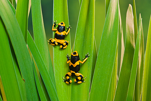 FRG 01 TK0076 01 © Kimball Stock Two Bumblebee Poison Dart Frogs Climbing On Plant Guyana, South America