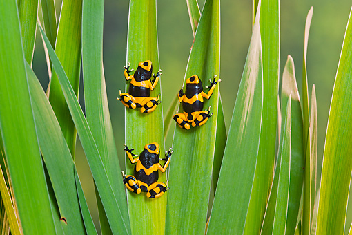 FRG 01 TK0078 01 © Kimball Stock Three Bumblebee Poison Dart Frogs Climbing On Plant Guyana, South America