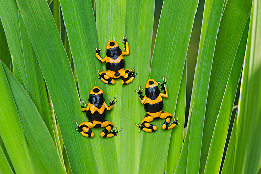 FRG 01 TK0079 01 © Kimball Stock Three Bumblebee Poison Dart Frogs Climbing On Plant Guyana, South America