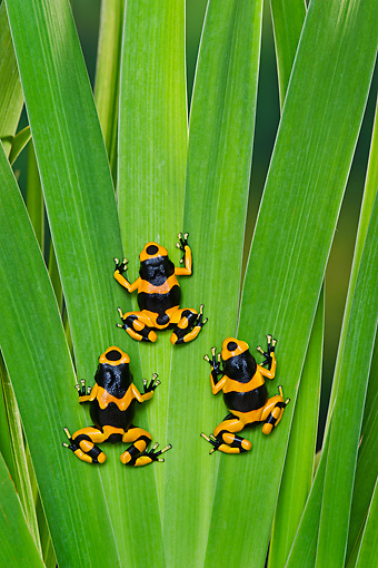 FRG 01 TK0080 01 © Kimball Stock Three Bumblebee Poison Dart Frogs Climbing On Plant Guyana, South America