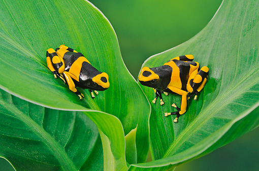 FRG 01 TK0081 01 © Kimball Stock Two Bumblebee Poison Dart Frogs Sitting On Plant Guyana, South America