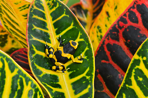 FRG 01 TK0083 01 © Kimball Stock Bumblebee Poison Dart Frog Sitting On Leaf Guyana, South America
