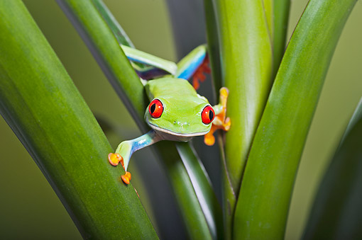 FRG 01 TK0084 01 © Kimball Stock Red-Eyed Tree Frog Clinging To Tropical Plant