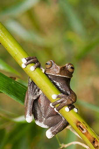 FRG 01 WF0009 01 © Kimball Stock Tapichalaca Tree Frog Hanging On Stem