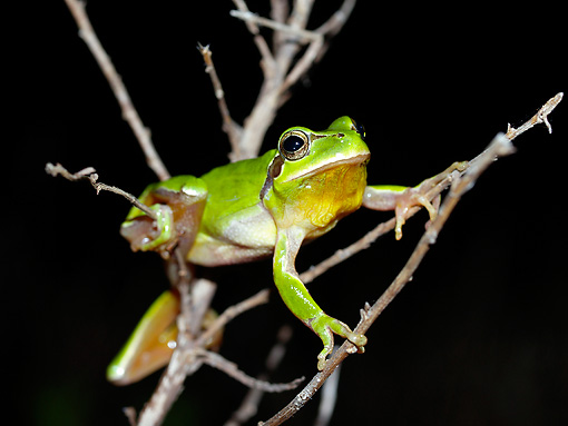 FRG 01 WF0015 01 © Kimball Stock European Tree Frog Climbing On Twig