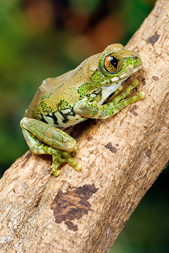 FRG 01 WF0016 01 © Kimball Stock Big Eyed Tree Frog Climbing On Branch