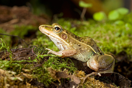 FRG 01 WF0018 01 © Kimball Stock Mascarene Grass Frog Sitting On Moss Profile