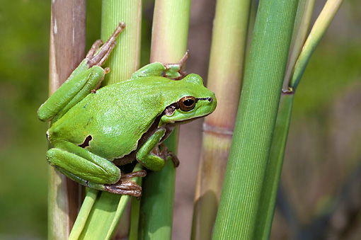 FRG 01 WF0021 01 © Kimball Stock Common Treefrog Sitting On Reed Stem