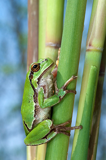 FRG 01 WF0022 01 © Kimball Stock Common Treefrog Sitting On Reed Stem