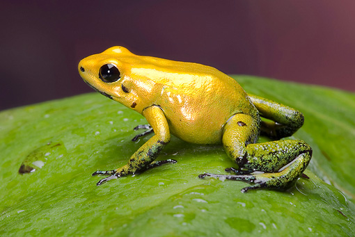 FRG 01 WF0024 01 © Kimball Stock Black-Legged Dart Frog Sitting On Dewy Leaf