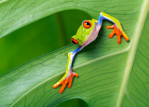 FRG 01 KH0001 01 © Kimball Stock Red-Eyed Tree Frog Sitting On Leaf