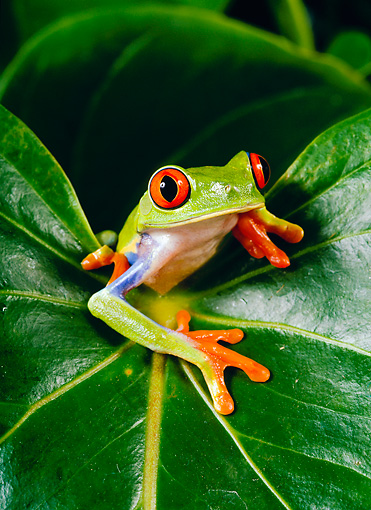 FRG 01 KH0002 01 © Kimball Stock Red-Eyed Tree Frog Sitting On Leaf