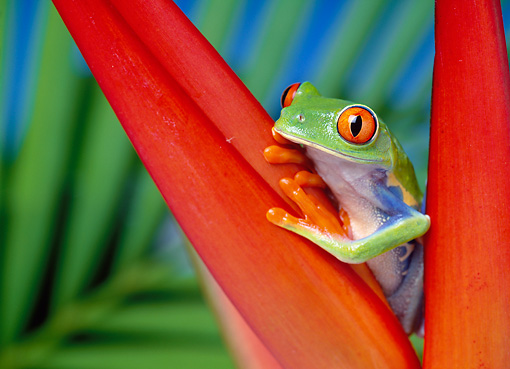 FRG 01 KH0004 01 © Kimball Stock Red-Eyed Tree Frog Sitting On Red Plant