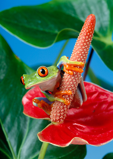FRG 01 KH0005 01 © Kimball Stock Red-Eyed Tree Frog Sitting On Red Flower
