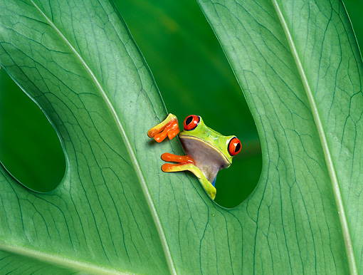 FRG 01 KH0010 01 © Kimball Stock Red-Eyed Tree Frog Sitting On Leaf