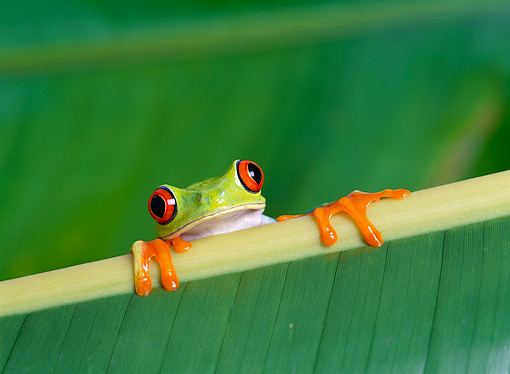 FRG 01 KH0011 01 © Kimball Stock Red-Eyed Tree Frog Sitting On Leaf