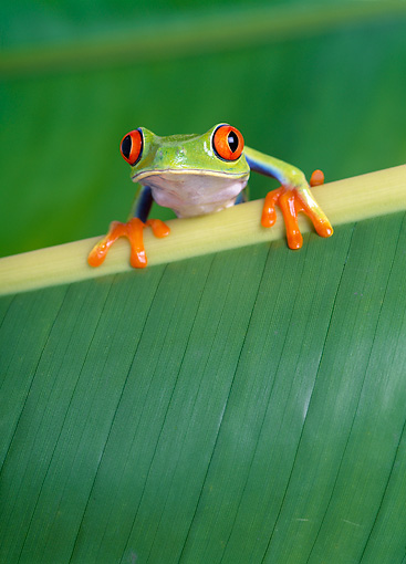 FRG 01 KH0012 01 © Kimball Stock Red-Eyed Tree Frog Sitting On Leaf