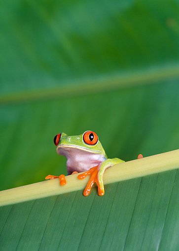 FRG 01 KH0013 01 © Kimball Stock Red-Eyed Tree Frog Sitting On Leaf