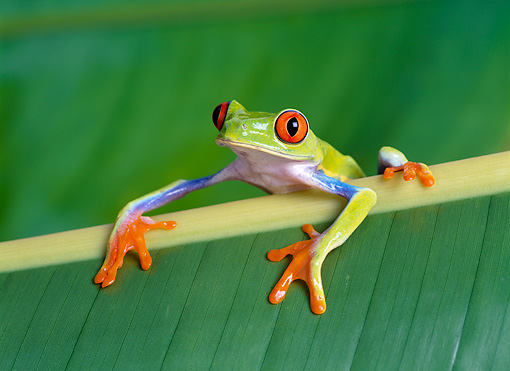 FRG 01 KH0014 01 © Kimball Stock Red-Eyed Tree Frog Sitting On Leaf