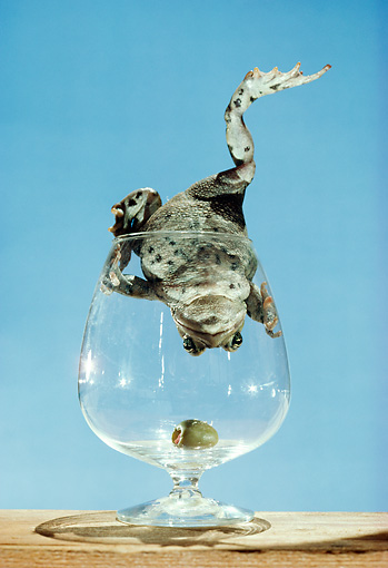 FRG 01 RC0001 01 © Kimball Stock Frog Climbing Into Glass Upside-Side