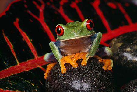 FRG 01 RK0007 11 © Kimball Stock Red-Eyed Tree Frog (Agalychis callidryas) Sitting On Red Leaf By Wet Rocks