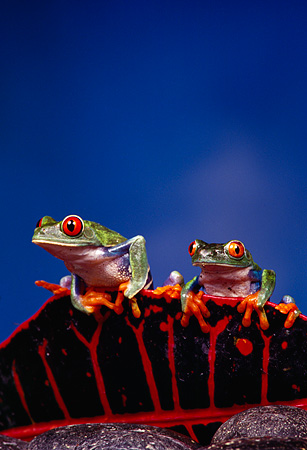 FRG 01 RK0014 06 © Kimball Stock Two Red-Eyed Tree Frogs (Agalychis callidryas) Sitting On Top Of Red and Black Leaf Blue Background