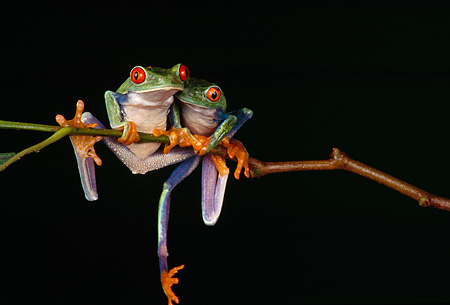 FRG 01 RK0017 03 © Kimball Stock Red-Eyed Treefrogs Sitting On Leaf