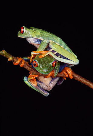 FRG 01 RK0017 17 © Kimball Stock Red-Eyed Treefrogs Sitting On Leaf