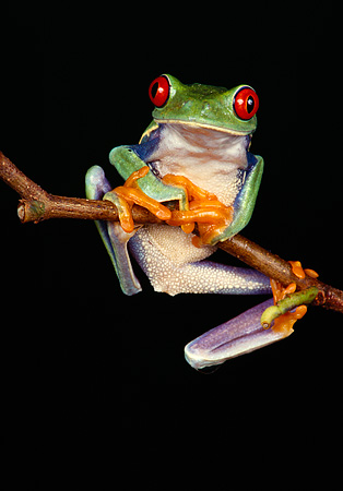 FRG 01 RK0019 41 © Kimball Stock Red Eye Tree Frog Hanging Onto Twig