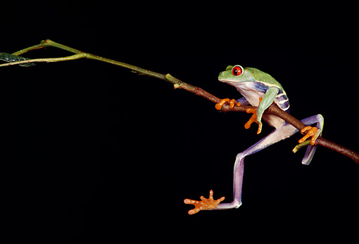 FRG 01 RK0019 42 © Kimball Stock Red Eye Tree Frog Hanging Onto Twig
