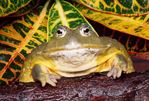 FRG 01 RK0023 18 © Kimball Stock African Burrowing Bullfrog By Leaves Studio